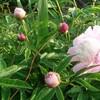 赤坂お茶屋屋敷跡のボタン │ 季節の花ジョギング