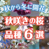 秋から冬にかけて開花する珍しい秋咲きの桜(サクラ)の品種6選