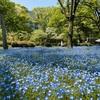 日比谷公園のネモフィラは青い妖精のような見ごろ。イチゴショートケーキは見事に失敗。