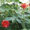 薔薇の香りの効能・効果を知って もっと好きになる!