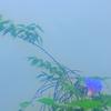 霧の朝(カルガモ?一家・その後)