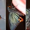 今年のイモムシ、蛹、羽化シリーズ。トップはやっぱりアオバセセリ