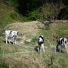自立を始めた牛