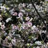 新宿御苑の10月桜満開