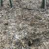 朝掘り竹の子 4月12日