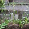【家庭菜園】ここ最近の畑仕事(追肥、収穫)