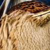 1114【スズメの砂浴び?日向ぼっこ】砂食べシジュウカラ?カモの雑種アメリカヒドリ✕ヒドリガモ。マガモのかわいいおしり。野生化ハナガメ特定外来生物【 #今日撮り野鳥動画まとめ 】 #身近な生き物語