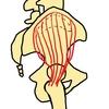 中殿筋~解剖、特徴、後部繊維のトレーニング~