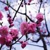 桜は咲いたが梅がまだ…
