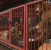 韓国「ハンマーで犬を殺しても起訴猶予」動物保護法.意味なし