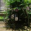 タケノコ観察記録 6/3