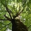 中国山地のブナ林①