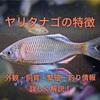 ヤリタナゴの特徴 外観・飼育・繁殖・釣り情報を詳しく解説!