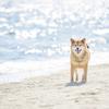 いつまでも愛される柴犬♡性格や飼い方・かかりやすい病気は?
