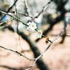 梅を撮る。