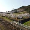 御所の台の桜が見頃だよ!