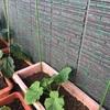 ベランダでプランター菜園!ナスの植え替え、ミニトマトを追加、ネットを設置しました。