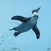 サンシャイン水族館リニューアル! 「空飛ぶペンギン」を見てきました