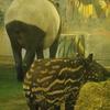 多摩動物公園 マレーバク