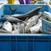 2020年5月13日 小浜漁港 お魚情報