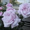 一足早くバラの花が咲き始めました !!