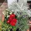 格安花苗で寄せ植えを作りました。