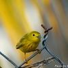 ベリーズ 散歩道の Yellow Warbler (イエロー ワーブラー)