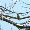 ミミアオゴシキドリ(Green-eared Barbet)