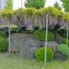 東新井緑地の藤~つくば市とその周辺の風景写真案内(400)