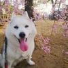 【国宝姫路城】世界遺産のお城にハスキー犬とお散歩