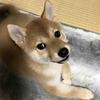 柴犬あきとの生活 12