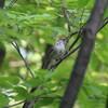 6月のウグイス・ハクセキレイの幼鳥・アオバト(大阪城野鳥探鳥 2018/06/03 4:30-10:15)