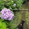 【季節の花】紫陽花