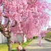 【観光】喜多方日中線記念しだれ桜。両親を連れていきたいお花見スポット情報。