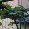 キウイフルーツが大きく育ってきました。