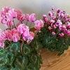 お花のある暮らし 冬のお花シクラメンを育てる