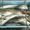 2018年6月23日 小浜漁港 お魚情報