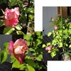 先週末のバラ