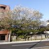 松月寺大桜