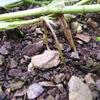 落花生を収穫
