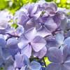 【松戸】あじさいが咲く四季の寺・長谷山 本土寺②庭園のメインは菖蒲池