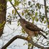 公園の鳥達(オオタカ、ジョウビタキ、メジロ)