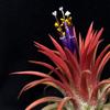 【Tillandsia ionantha 'Variegata'】開花