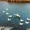 大川の白鳥の小さい歴史