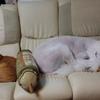 肝臓の病気の多い犬種
