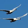 「白鳥の郷」のアメリカコハクチョウ