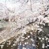板橋の桜を満喫しました、その3。