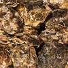 【ふるさと納税】石川県穴水(あなみず)町 能登穴水の牡蠣(殻付)が届きました〜!