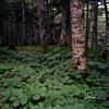 北沢峠 オオシラビソとヤグルマソウの森
