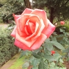 バラと豊かな時間☆